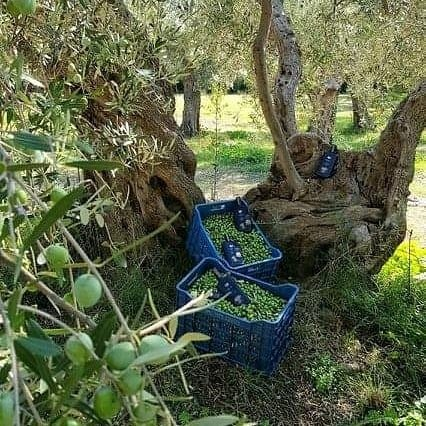 Ancient olive tress in Kyklopas olive groves! More than 1500 years old!