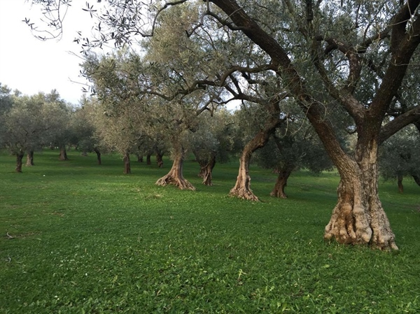 Choosing to maintain the natural turf weeds in the olive grove in winter.